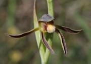 Lyperanthus serratus - Rattle Beaks