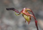 Paracaleana nigrita - Flying Duck Orchid