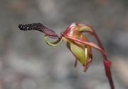 Paracaleana nigrita - Flying Duck Orchid
