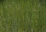 Prasophyllum drummondii - Swamp Leek Orchid