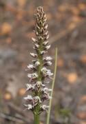 Prasophyllum gibbosum - Humped Leek Orchid