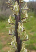 Prasophyllum giganteum - Giant Leek Orchid