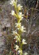 Prasophyllum plumiforme - Dainty Leek Orchid
