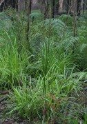 Prasophyllum regium - King Leek Orchid