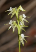Prasophyllum sp. 'early' - Autumn Leek Orchid