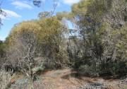 Pterostylis allantoidea - Shy Greenhood