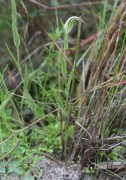 Pterostylis angusta - Narrow-hooded Shell Orchid