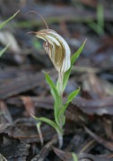 Pterostylis aspera - Brown-veined Shell Orchid