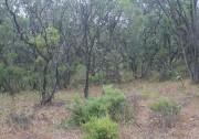 Pterostylis frenchii - Tuart Rufous Greenhood