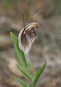 Pterostylis hamiltonii - Red-veined Shell Orchid