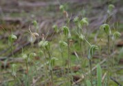 Pterostylis sp. 'hairy' - Hairy-stemmed Snail Orchid