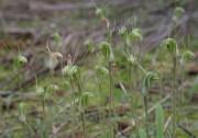 Pterostylis setulosa - Hairy-stemmed Snail Orchid