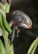 Pterostylis sanguinea - Dark Banded Greenhood