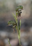 Pterostylis sargentii - Frog Greenhood