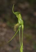 Pterostylis turfosa - Bearded Bird Orchid
