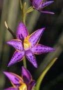 Thelymitra apiculata - Cleopatra's Needles