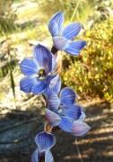 Thelymitra campanulata - Shirt Orchid