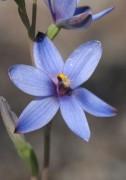 Thelymitra canaliculata x crinita - Blue Hybrid