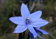 Thelymitra crinita - Blue Lady
