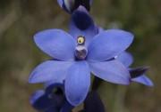 Thelymitra crinita x macrophylla - Blue Scented Hybrid