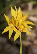 Thelymitra dedmaniarum - Cinnamon Sun Orchid