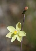 Thelymitra flexuosa - Twisted Sun Orchid