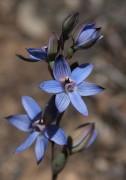 Thelymitra latiloba - Wandoo Azure Sun Orchid