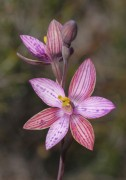 Thelymitra pulcherrima x campanulata - Hybrid Queen Orchid