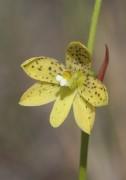 Thelymitra tigrina - Tiger Orchid